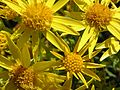 Ragwort flowers.jpg
