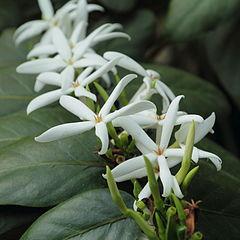 被栽培在英国邱园的罗德里格斯茜草(Ramosmania rodriguesii)