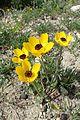 Ranunculus asiaticus kz13.jpg