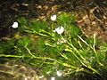 Ranunculus longirostris.jpg