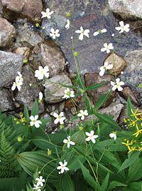 Ranunculus platanifolious a2