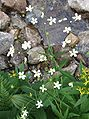Ranunculus platanifolious a2.jpg