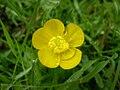 Ranunculus repens 0.0 R.jpg