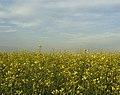 Rapeseed field in Khakassia 1.jpg