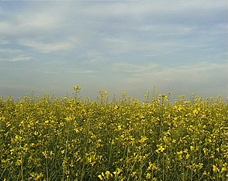 Khakassia - Image: Rapeseed field in Khakassia 1