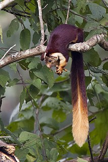 Indian giant squirrel species of giant squirrel (Ratufa)
