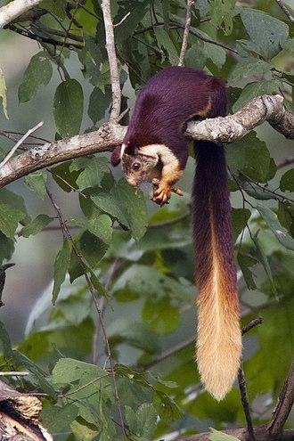 Indian giant squirrel - Image: Ratufa indica (Bhadra, 2006)