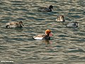 Red-crested Pochard (Netta rufina), Gadwall (Anas strepera) & Eurasian Coot (Fulica atra) (36384893383).jpg