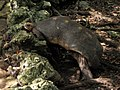 Red-footed Tortoise in Barbados 02.jpg