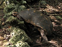 Adult red-footed tortoise walking on a rocky outcrop in heavy vegetation