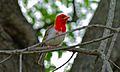 Red-headed Weaver (Anaplectes melanotis) (8390429318) (2).jpg
