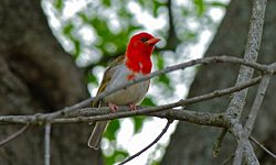 Red-headed Weaver (Anaplectes melanotis) (8390429318) (2).jpg