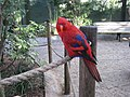 Red Lory (Eos bornea) -Busch Gardens-8a.jpg