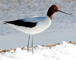 Red Necked Avocet Cropped.jpg