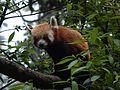 Red Panda at Himalayan Zoo, Darjeeling.jpg