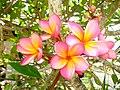 Red frangipani (Plumeria rubra) flowers.jpg
