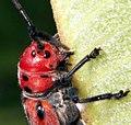 Red milkweed beetle wiki.jpg