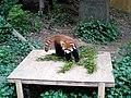Red panda fuuta.jpg