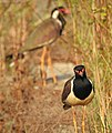 Red wattled lapwing (Vanellus indicus)) 2.jpg