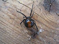 Redback spider from behind (5360218816).jpg