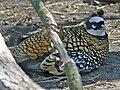 Reeve's Pheasant (Syrmaticus reevesii) RWD.jpg