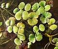 Regnellidium diphyllum.jpg