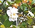 Regulus madeirensis & Camellia.jpg