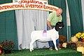 Reserve Champion Dorper Ewe (44234010785).jpg