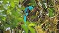 Resplendent Quetzal (Pharomachrus mocinno) (5771951421).jpg