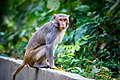 Rhesus Macaque monkey look.jpg