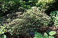 Rhododendron impeditum - VanDusen Botanical Garden - Vancouver, BC - DSC06800.jpg