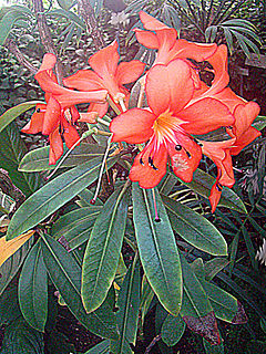 """<i>Rhododendron <span style=""""font-style:normal;"""">sect.</span> Vireya</i> Group of shrubs"""