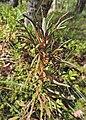 Rhododendron tomentosum kz06.jpg