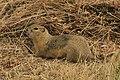 Richardson's Ground Squirrel - Urocitellus richardsonii, Scott's Lake Hill, Alberta, Canada (36535554530).jpg