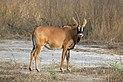 Roan antelope (Hippotragus equinus koba).jpg