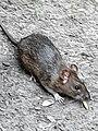 Rodentia - Rattus norvegicus - 2.jpg