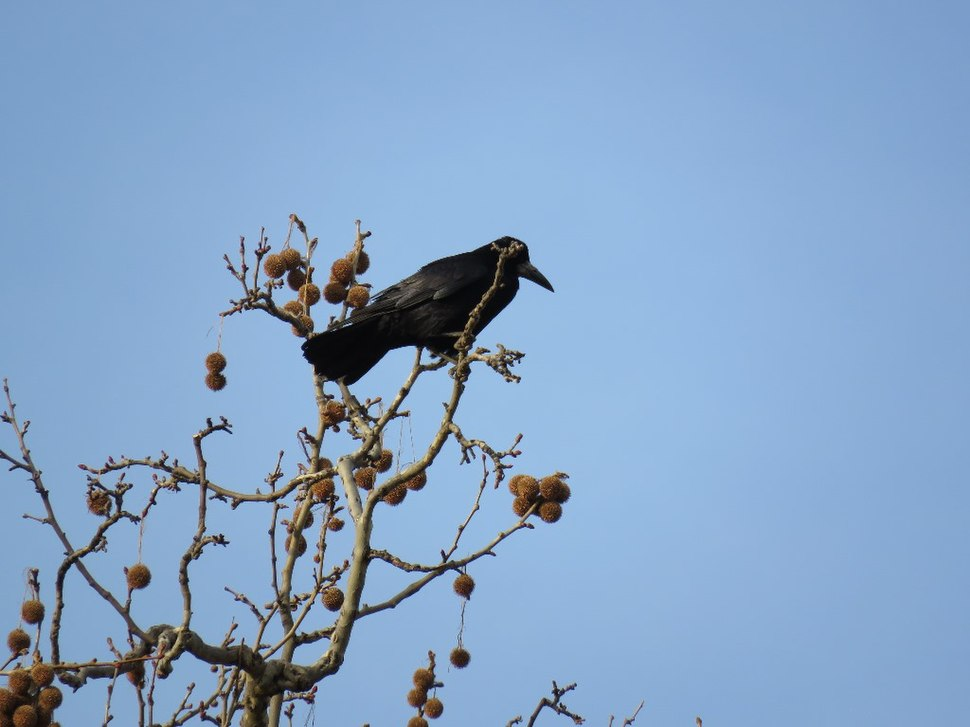 Rook in the grass 10