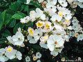Rosa-multiflora01.jpg