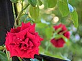 "Rosa ""Grand Award"" o POULcy 015.jpg"