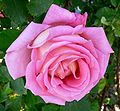 Rosa My Choice 1.jpg