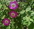 Rosa hemsleyana.jpg