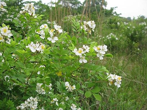Rosa multiflora 0906