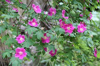 Rosa pendulina 28062005.JPG