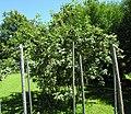 Rosa villosa plant (04).jpg