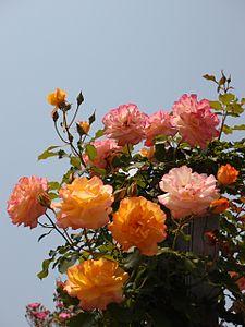 Rose,Sahara,バラ,サハラ, (8125084635).jpg