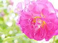 Rose, Outta the Blue, バラ, アウタ ザ ブルー, (15271105669).jpg