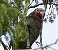 Rose-throated Parrot. Amazona leucocephala - Flickr - gailhampshire.jpg