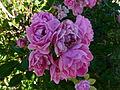 Roses du Jardin - Château du Moulin 2.JPG
