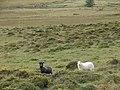 Rough grazing near Wern-fach - geograph.org.uk - 243271.jpg