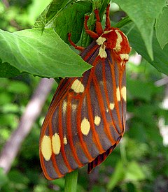 240px royal walnut moth citheronia regalis  txcounty missouri